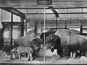 buffaloVitrineWeb